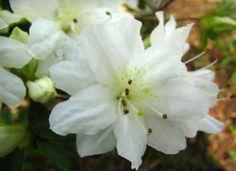 Macro of White Azalea II