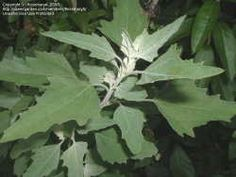 Lambs Quarters.  Indicates loose soil, insufficient organic matter, and that soil is tired of growing potatoes. However, its deep taproot pulls up water and minerals for nearby crops and is a good companion for tomatoes and flowers. Thin to 3 or 4 feet apart.