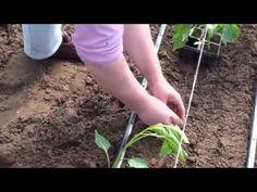 Bodza és paprika ültetése - YouTube Plants, Youtube, Red Peppers, Plant, Youtubers, Youtube Movies, Planets