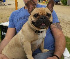 Wildsterne Trockenfutter - Emilio liebt Breed Selection für die Französische Bulldogge!  http://www.mihaela-testfamily.de  #Emilio #frenchbulldog   #Frenchie   #FranzösischeBulldogge  #Wildsterne #Trockenfutter   #Dogs #Animals