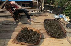 What is a Shengcha? Maocha? And Pu'er Maocha? – Tea Hong Fermented Tea, Tea Varieties, Oolong Tea, Wild Nature, Raw Materials, How To Dry Basil, Herbs, Things To Sell, Raw Material