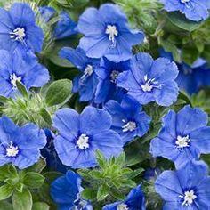 Evolvulus, Dwarf Morning Glory -- My Blue Mind (annual)