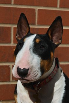 Quick portrait of my bull terrier, Daisy, because she is very pretty when she's not being a nuisance.