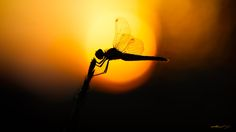 Fairy dragonfly by chabaudyohann on 500px