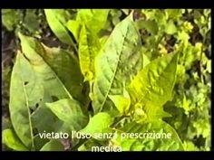 Conoscere le piante velenose: Belladonna.