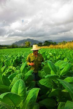 Voyage à Vinales : plantations de tabac à Pinar del Rio, Cuba