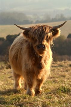 Young Highland Cow Art Print