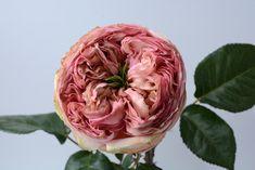 """Pride of Jane"" garden rose Seasonal Flowers, All Flowers, Floral Design, Pride, Fragrance, Roses, Colorful, Create, Garden"
