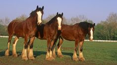 horses    animal of three brown horses on the meadow