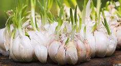Container Gardening For Beginners Growing Garlic for Beginners. I really don't know too many people who don't like, if not love, the taste of garlic. We easily use bulbs of garlic a Gardening For Beginners, Gardening Tips, Flower Gardening, Planter Ail, Garlic Sprouts, Garlic Seeds, Harvesting Garlic, Garlic Bulb, Cancer Fighting Foods