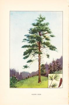1926 Botany Print - White Pine Tree - Vintage Antique Book Art Illustration Nature Natural Science Great for Framing. $10.00, via Etsy.