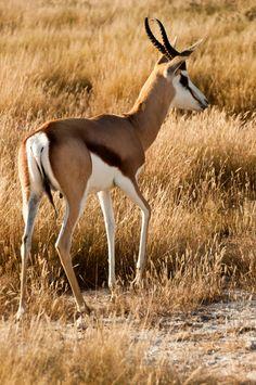 La gacela saltarina de El Cabo o springbok (Antidorcas marsupialis) Los springboks son antílopes delgados, de cuello largo, con una longitud total de 150 a 195 cm (59 a 77 pulgadas), y cuernos presentes en ambos sexos. Los adultos miden entre 70 y 90 cm (28 y 35 pulgadas) en la cruz , dependiendo del peso y género; pesan entre 30 y 44 kg (66 y 97 libras) para las hembras y 33 y 48 kg (73 y 106 libras) para los machos. La cola es de 15 a 30 centímetros (5,9 a 11,8 pulgadas) de largo.
