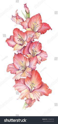 Watercolor red gladiolus flower drawing at white paper background August Flower Tattoo, August Birth Flower, August Flowers, Birth Month Flowers, Realistic Flower Drawing, Cute Flower Drawing, Beautiful Flower Drawings, Gladiolus Flower Tattoos, Birth Flower Tattoos