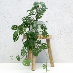 Have You Met the OTHER Monstera? – Jennifer Have You Met the OTHER Monstera? Swiss Cheese vine, often called Monstera obliqua or Monstera adansonii, is a beautiful addition to any home. Here's how to grow and care for them. House Plants Decor, Garden Plants, Vine House Plants, Outdoor Plants, Plants In The Home, Vegetable Garden, Indoor Climbing Plants, Cactus Decor, Patio Plants