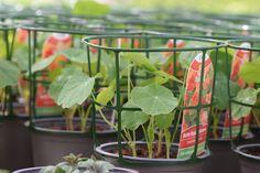 """Stark wachsende Pflanzen werden in unserer Gärtnerei """"gekörbelt"""", so können sie ungehindert weiter wachsen und verheddern sich nicht mit den Nachbarpflanzen. Auf diesem Bild: Bunte Kapuzinerkresse Stark, Bunt, Plants, Growing Plants, Glass House, Pictures, Plant, Planets"""