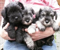 Schnauzers make the cuuuuutest puppies. <3.. sad that i remember when Mo was this little !