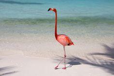 Flamingo Aruba Karibik