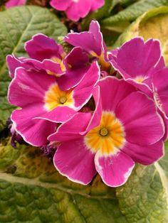 Pink and Yellow Winter primroses, Penkridge, Staffordshire, England | VWCamperVan-Aldridge on Tumblr