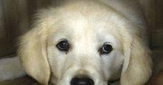 """""""Antes de ter o seu cachorro é um livro dedicado a todos os criadores de cães que são verdadeiramente excepcionais no trabalho que fazem. Criadores que se preocupam tanto (ou mais) com a saúde física e mental de seus cães quanto se preocupam quanto a conformação física tipicidade e cor da pelagem.  É dedicado a todos os médicos-veterinários que entendem o papel crucial que a socialização e a educação têm na prevenção de comportamentos inadequados e dos distúrbios de temperamento.   É…"""