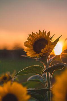 My Favorite Wallpaper: Sunflower