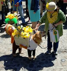 These are the real stars of the island's annual daffodil festival. Daffodil Day, Dog Costumes, Nantucket, Daffodils, Bathrooms, Dogs, Bathroom, Full Bath, Pet Dogs