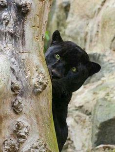 Black Jag Behind a Tree