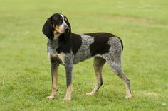 Bluetick Coonhound - During the early decades of this century, dog dealers made trips into the Louisiana bayou, the Ozark mountains and other isolated areas, bringing out hounds of remarkably pure type. These dogs, mainly of the heavily ticked blue color, were often referred to as Bleus de Gascognes or French Staghounds.
