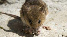 3 astuces pour dissuader naturellement les souris de s'installer chez nous