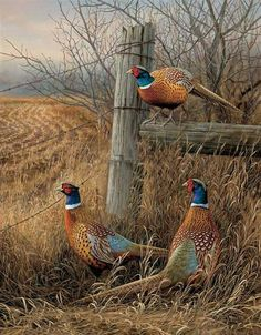 Pheasants in the field                                                       …