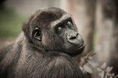 Free Image on Pixabay - Chimpanzee, View, Monkey, Ape