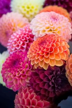 Dahlias are popular flowers in many a temperate garden, and exist in many cultivars. Learn how to grow dahlia plants so you can obtain the best blooms. Deco Floral, Arte Floral, My Flower, Pretty Flowers, Fall Flowers, Neon Flowers, Dahlia Flowers, Amazing Flowers, Colorful Flowers