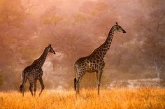 Giraffes by Gorazd Golob