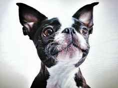 Boston Terrier Love, Boston Terriers, Sweet Dogs, Cute Dogs, Animals And Pets, Cute Animals, French Dogs, Dogs And Puppies, Doggies