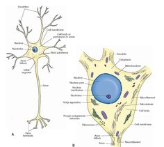 A schematic representation of a neuron. (A) Note the orientation of the dendrites, axon, and nucleus. The f irst few microns of the axon as it emerges from the axon hillock represent the initial segment of the axon. (B) Components of the neuron: the cell membrane, nucleus, nuclear membrane, nucleolus, and the organelles.