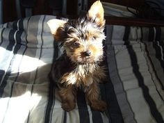 -=-=- Cabana Babies Puppies -=-=-  Yorkshire Terrier Male Puppy