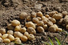 Ever wonder the best way to go about planting potatoes in a raised garden bed? Here is a simple, easy way to get the most from your potato harvest. Irish Potatoes, Baby Potatoes, Cheesy Potatoes, Grow Potatoes, Bio Shop, Potato Famine, How To Store Potatoes, Cancer Causing Foods, Growing Vegetables