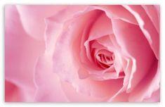 Light Pink Rose Macro HD wallpaper for S Mac Wallpaper, Flower Wallpaper, Wallpaper Backgrounds, Image 4k, Dining Room Wall Art, Light Pink Rose, Nature Hd, Pink Foods, Video Pink