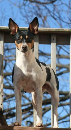 Rat Terriers are very regal and proud ...