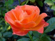 Rosa U0027Living Easyu0027