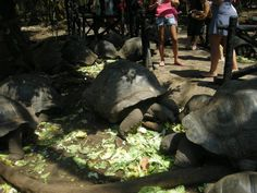 Tartarughe giganti delle Seychelles a #Zanzibar. www.ilioproget.it