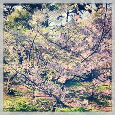 cherry blossoms The Ultimate Food and Music Guide to San Francisco