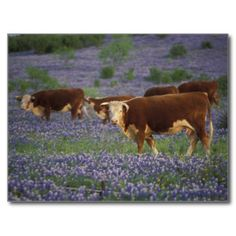 Texas Postcards & Postcard Template Designs