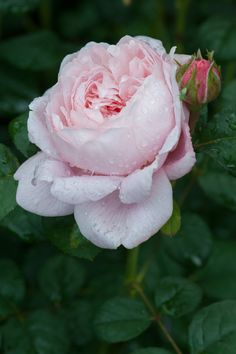 https://flic.kr/p/q6X95j   Rosa Queen of Sweden ('Austiger')   Rosa Queen of Sweden ('Austiger'), early June. A David Austin rose with beautiful pink double flowers that develop tinges of apricot as they mature.