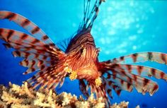 Most-beautiful-fishes-Lion-Fish