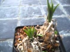 Rare Summer Growing Bulb -- Drimia altissima, heavenly scented, sculptured flowers - YouTube Rare Plants, Heavenly, Bulb, Sculpture, Youtube, Flowers, Summer, Plant, Onion