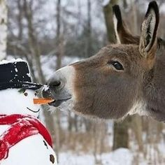 Donkey steals snowman's carrot nose.༺♥༻神*ŦƶȠ*神༺♥༻