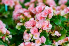 10 Best Plants for Container Gardening Begonia -