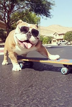 bulldog riding skateboard ~ re-pinned by bulldogpersonalchecks.com ~ bulldog-themed stationery, apparel, and gifts.