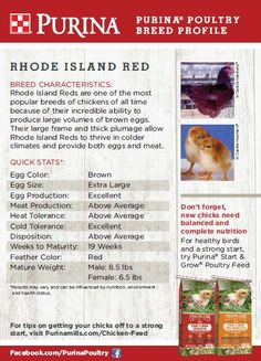 Featured Chicken Breed: Rhode Island Red  Rhode Island Red chickens are one of the most popular breeds of chickens. A dual-purpose breed, they are known to produce large volumes of brown farm fresh eggs, can thrive in colder climates and can provide both eggs and meat.