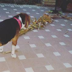 #Luna se cree q es Domingo de Ramo y piensa que las hojas de la platanera son las Palmas. #beagle #beagles #instadogs